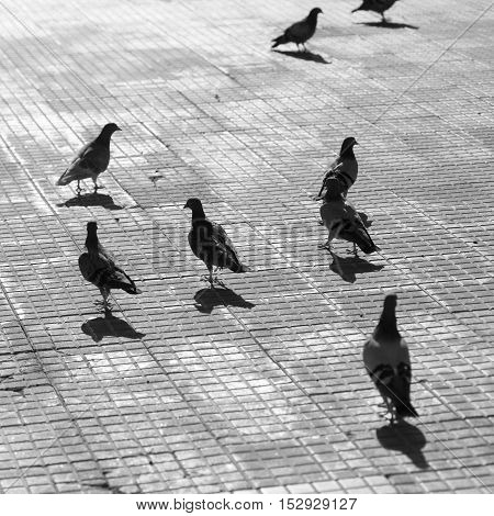 city pigeons on pavement black and white