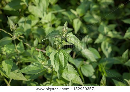 Leaves Bitter bush, herb Thailand, herb, herbal.