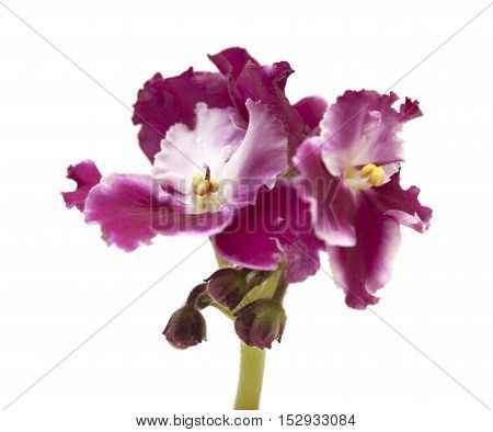 Dark Red And White African Violet