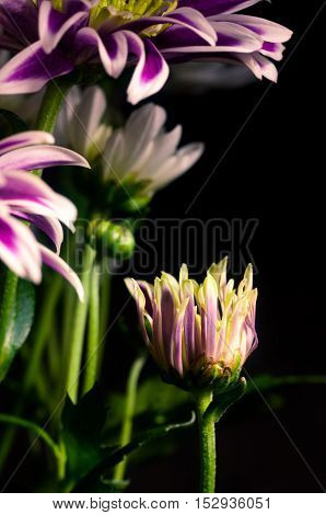 Purple Chrysanthemum With White And Green Closeup