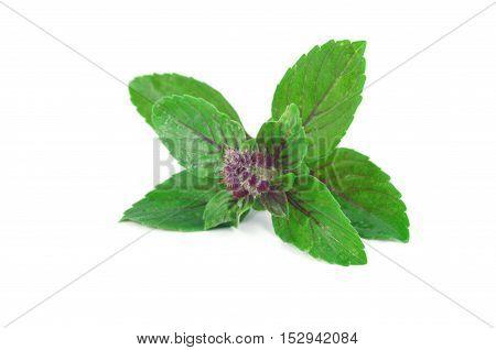 Leaves and flower of Ocimum sanctum, holy basil, or tulasi or tulsi onwhite background.
