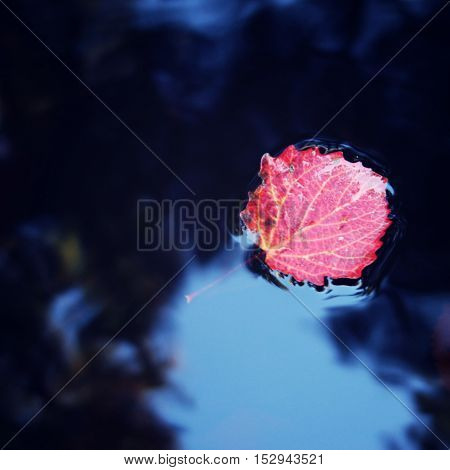 Autumn Photo. Red Aspen Leaf Floating On The Water