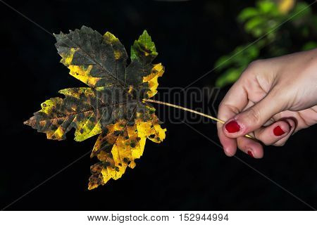 Yellow autumn maple leaf in female hand on the dark background. Seasonal natural scene. Vibrant colors.