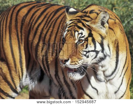 A Close Portrait of a Bengal Tiger Deep in the Forest