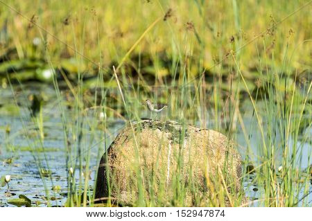 Solitary Sandpiper considers next move from rock at Daniel Webster Wildlife Sanctuary