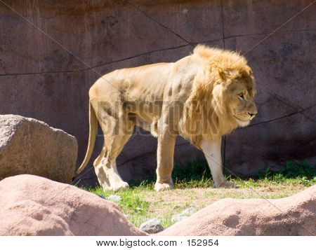Lion In The Sun