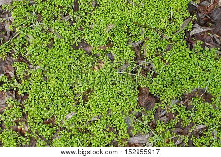 Texture of a green grass on the earth. Green grass surface. Green background. Spring background. Forest substrate.