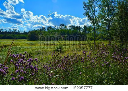 Purple flowers in the forest of bison country in the background blue sky and clouds