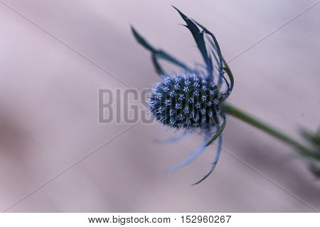Macro of a single blue thistle Eryngium flower with the prickly detail of its purple tinted head visible.