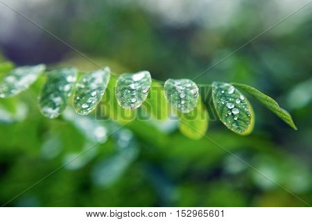 Dew drops on leaves. Leaves of plants after a rain close up. Dew drops close up. Water drops close up.