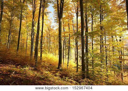 Autumn beech forest lit by morning sun