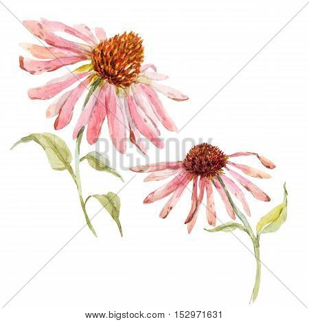 Beautiful image with watercolor pink echinacea flower