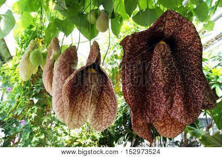 Large flowers Aristolochia, hanging from the canopy