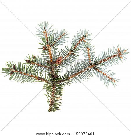 Blue spruce twig isolated on white closeup