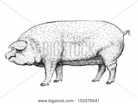 Pig swine hog sow piggy piglet piggie pigling brawn boar grown big cute eco farm animal snout. Vector square beautiful closeup profile side view black outline illustration isolated white background