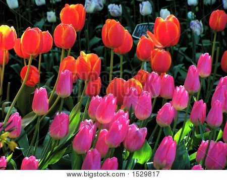 Orange And Pink Tulips