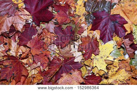 Background of the plurality of bright autumn maple leaves