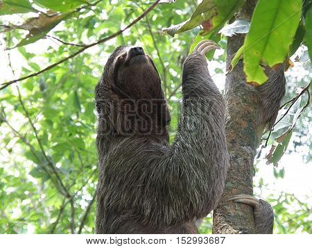 Three toed sloth in Manuel Antionio in Costa Rica.