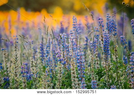 Wild Flowers Lupine In Summer Field Meadow At Sunset Sunrise Sunlight. Close Up. Lupinus, Commonly Known As Lupin Or Lupine, Is A Genus Of Flowering Plants In The Legume Family, Fabaceae.