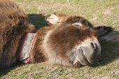 Lazy donkey napping. poster