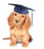Miniature dachshund puppy wearing a mortar board hat for graduation.