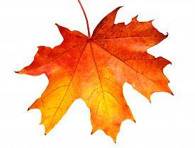 Yellow leaf isolated on white background. Flat. Maple.