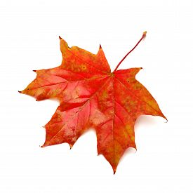 Red leaf isolated on white background. Maple. Autumn. Flat.