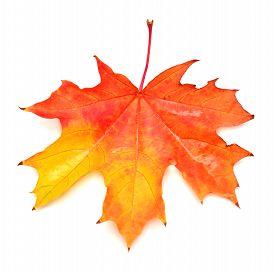 Red leaf isolated on white background. Flat, macro, autumn. Maple leaf.