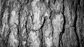 Bark of the pine tree - black and white nature background