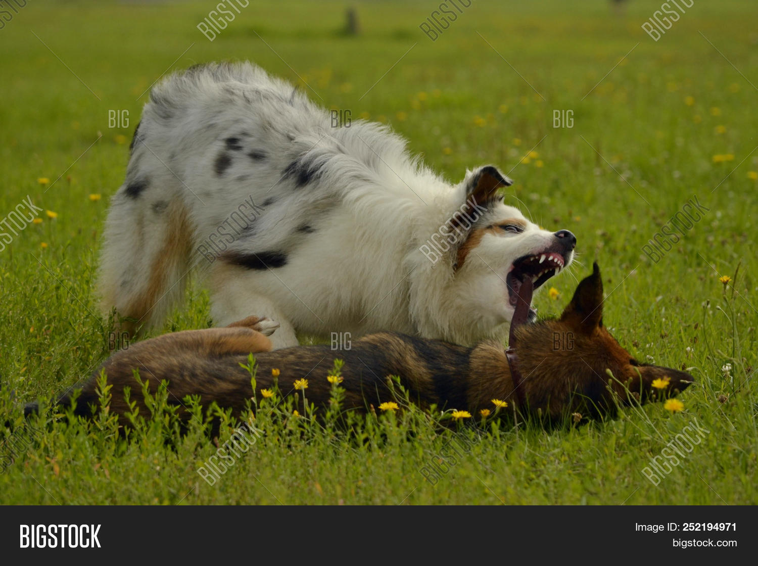 Dogs Play Each Other Image Photo Free Trial Bigstock