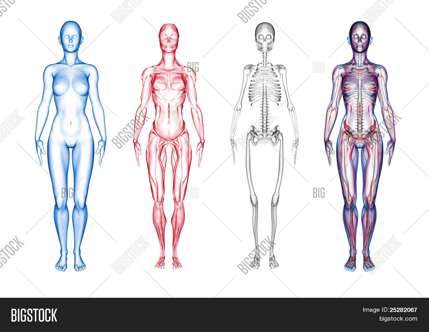 Female Anatomy (3D Image & Photo (Free Trial) | Bigstock