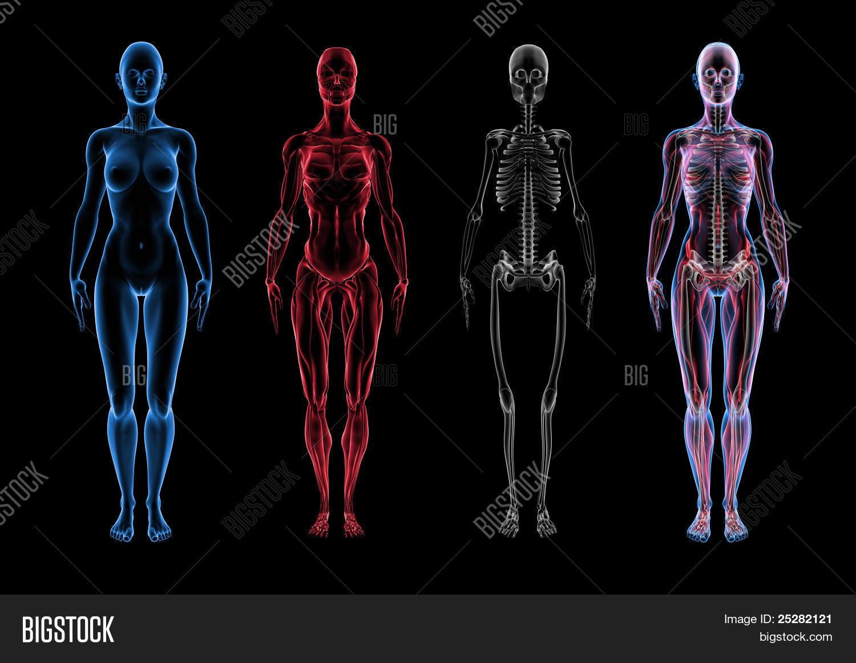 Imagen y foto Anatomí Femenina ( (prueba gratis) | Bigstock