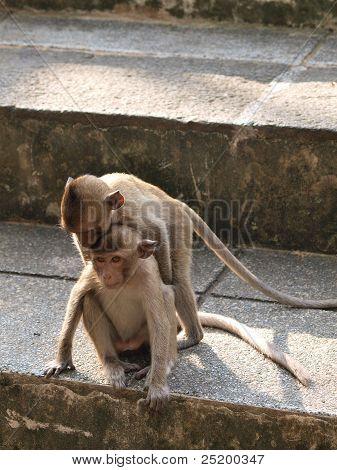 Young Monkey  (macaca Fascicularis) At Khao Wang ,petchburi Thailand