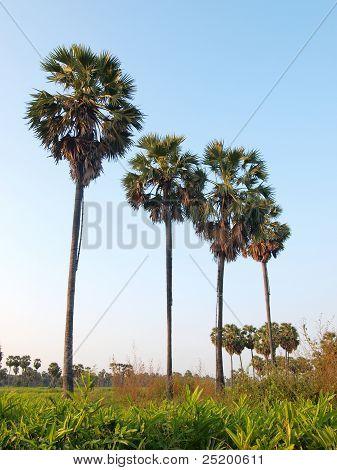 Sugar Palm Tree In Rice Field,thailand