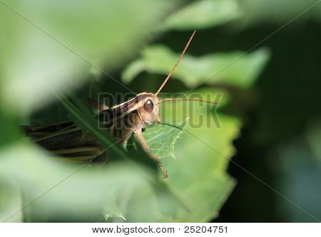 Peeking Grasshopper