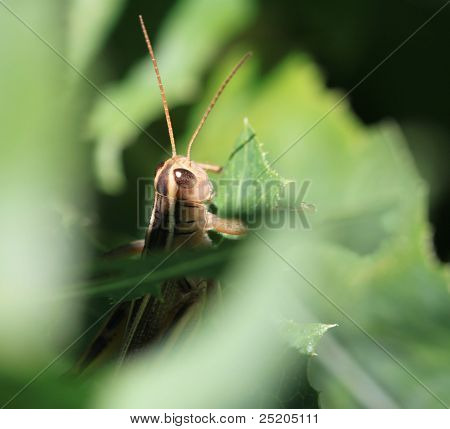 Macro Grasshopper