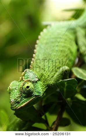 Female Jackson's Chameleon climbs down a branch