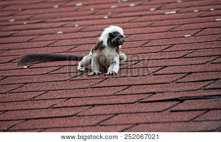 Close Up Portrait Of One Small Cotton-top Tamarin (saguinus Oedipus) Monkey Sitting On The Roof And
