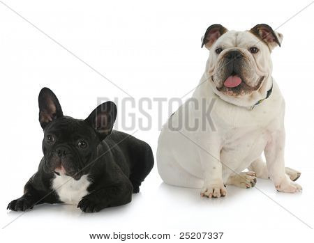 two dogs - english bulldog and french bulldog with reflection on white background