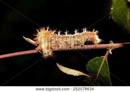 beautiful caterpillar in the nature