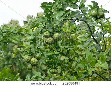 This Is Bergamot On Tree At Garden