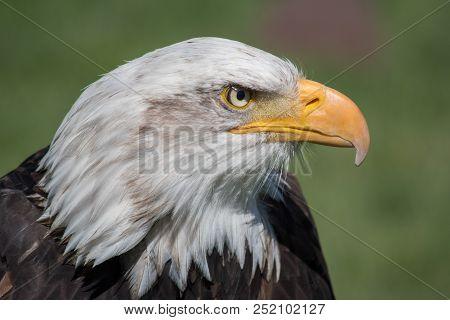 Bald Eagle Close-up. Bald Eagle (haliaeetus Leucocephalus) Is A Bird Of Prey Found In North America.