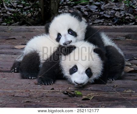 Baby Giant Pandas Playful And Adorable At A Zoo