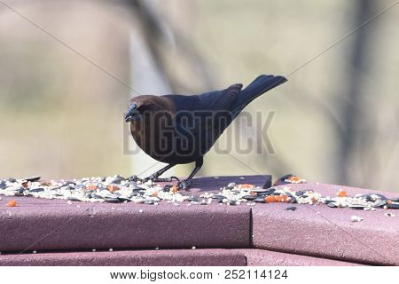 Male Cowbird Brown And Black Perched On A Back Deck Porch Eating Birdseed