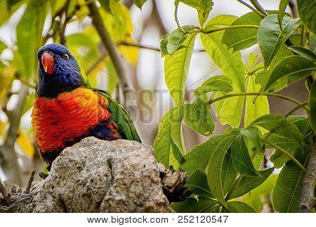 Rainbow Lorikeet - Trichoglossus Moluccanus- Species Of Parrot Found In Australia