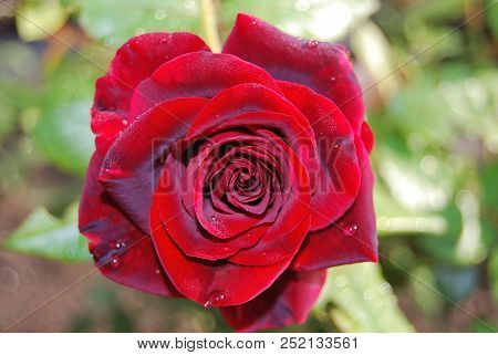 Red Rose In The Garden, Omsk Region, Russia