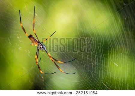 Golden Orb Weaving Spider Nephila Plumipes Aka Tiger Spider In Australia