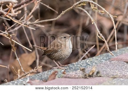 Eurasian Wren (troglodytes Troglodytes) Sitting On The Ground With A Brown Blurred Background. Small