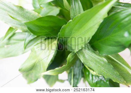 Spathiphyllum Leaves Closeup Green Background With White Copy Space