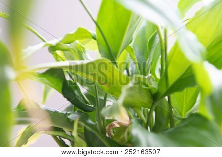 Spathiphyllum Leaves Closeup Green Background Full Of Backlights